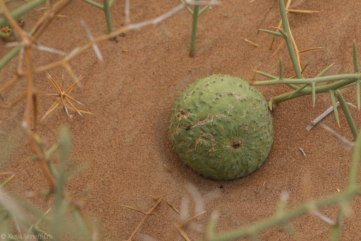Nara Pflanze Melone Melon Öl oil